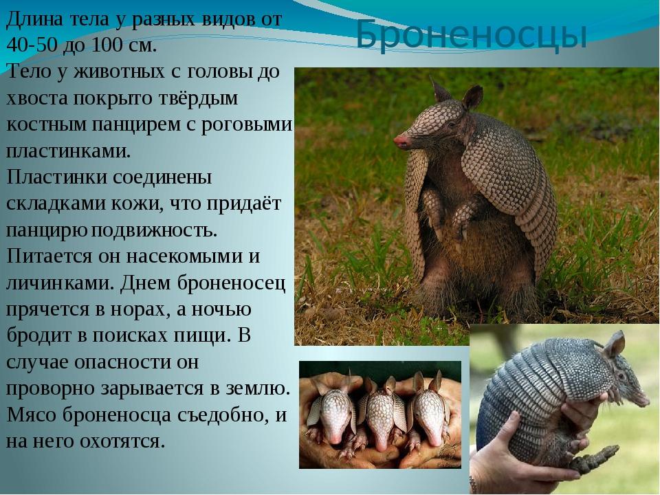 Броненосцы Длина тела у разных видов от 40-50 до 100 см. Тело у животных с го...