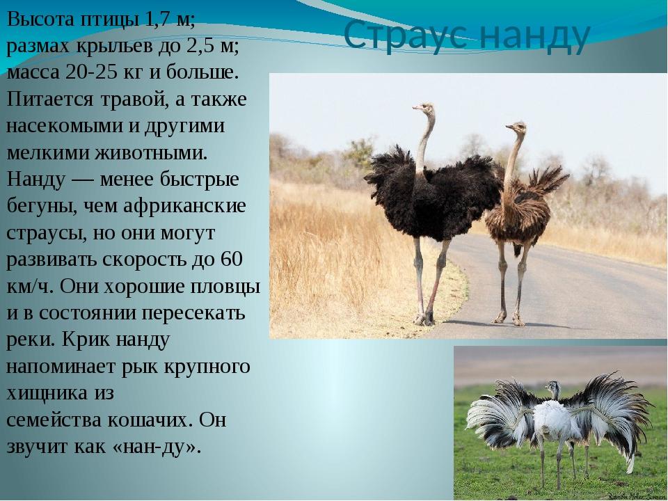 Страус нанду Высота птицы 1,7 м; размах крыльев до 2,5 м; масса 20-25 кг и бо...