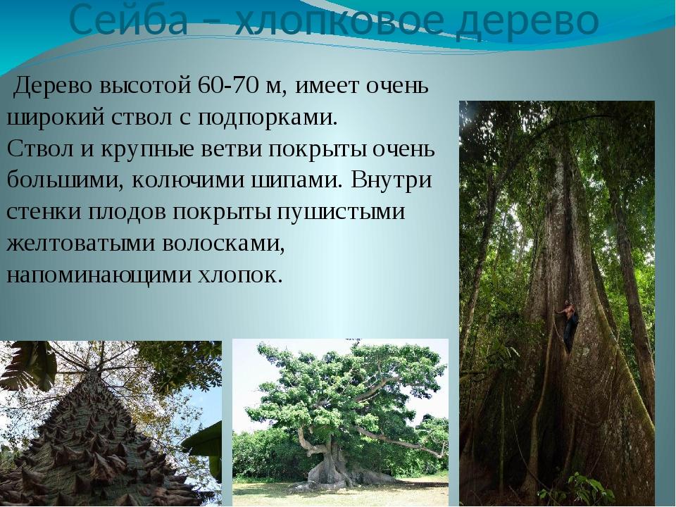 Сейба – хлопковое дерево Дерево высотой 60-70 м, имеет очень широкий ствол с...