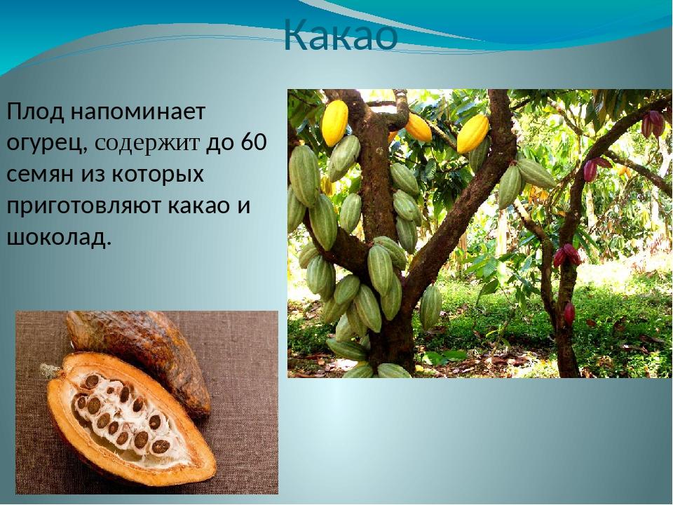 Какао Плод напоминает огурец, содержит до 60 семян из которых приготовляют ка...