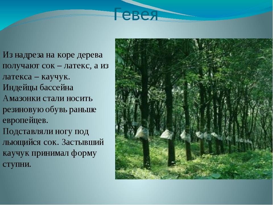 Гевея Из надреза на коре дерева получают сок – латекс, а из латекса – каучук....