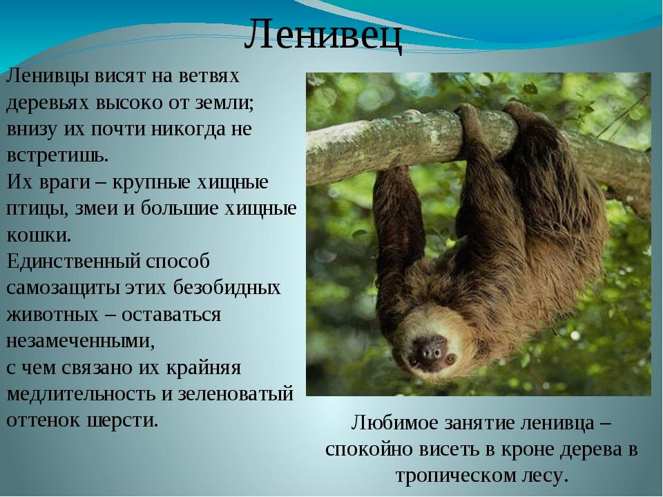 Ленивцы висят на ветвях деревьях высоко от земли; внизу их почти никогда не в...