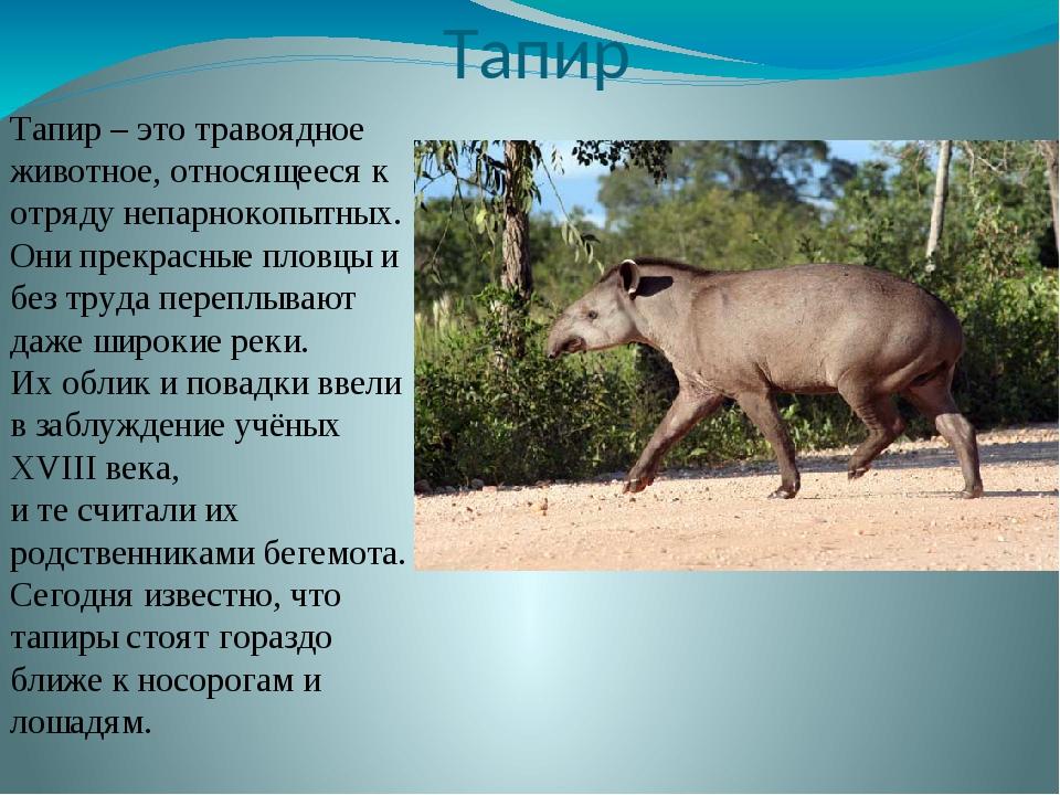 Тапир Тапир – это травоядное животное, относящееся к отряду непарнокопытных....