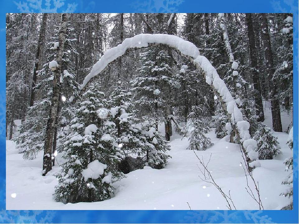 Снег - волшебник Снег на разных(П.п.) деревьях лежит по- разному: на кедрах б...