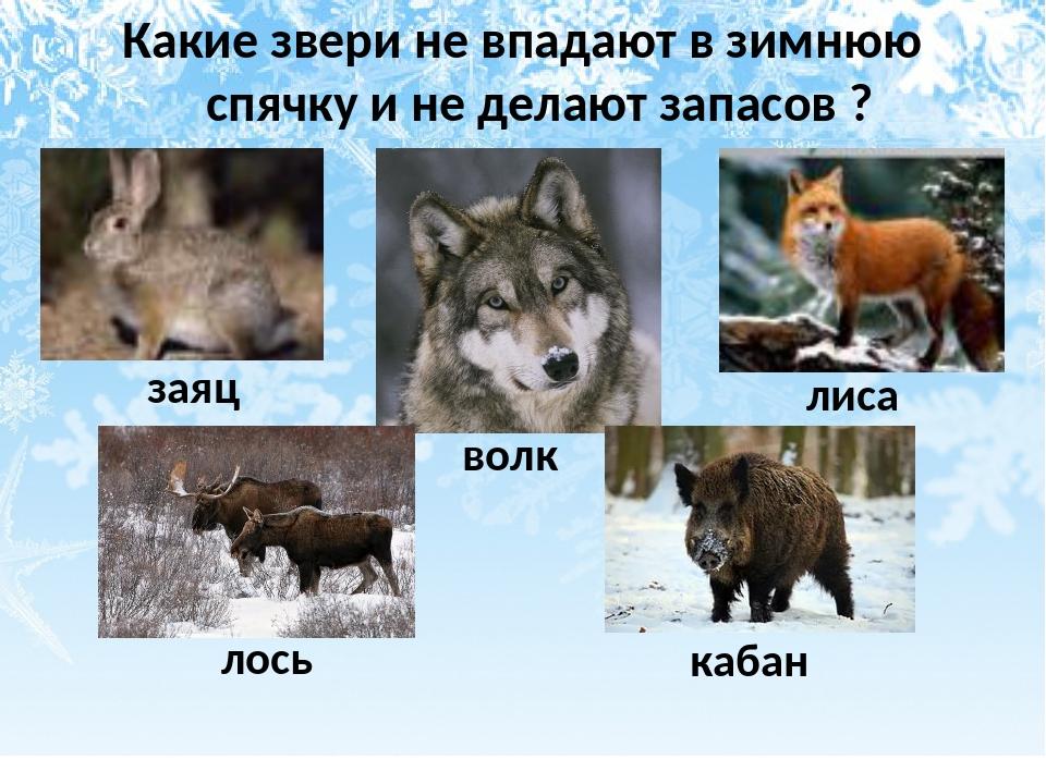 Какие звери не впадают в зимнюю спячку и не делают запасов ? заяц лось волк л...