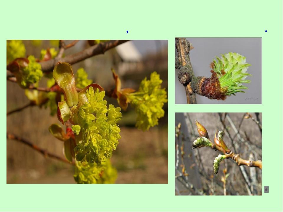Весной на деревьях и кустарниках набухают почки, распускаются листья.
