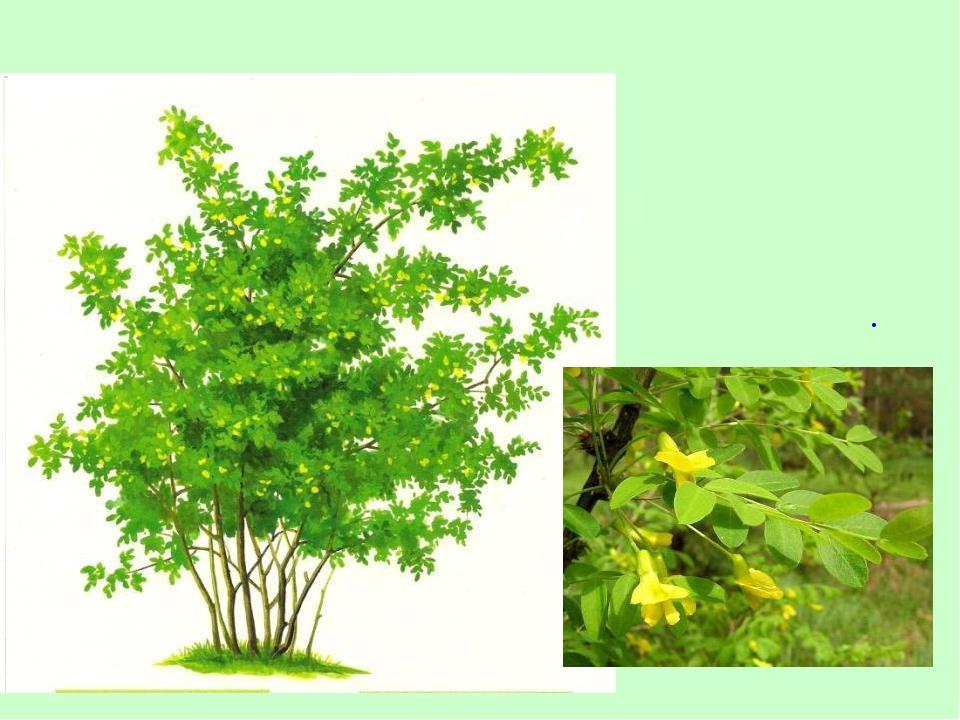 Цветение этого кустарника заканчивает весну и начинает лето. АКАЦИЯ