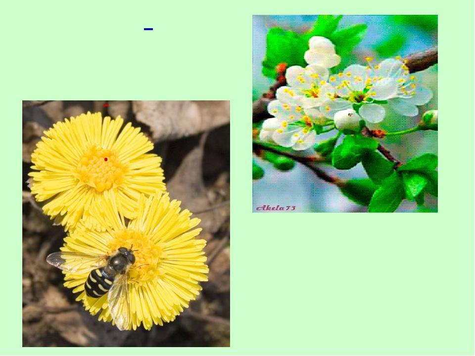 Душистый запах цветущих растений привлекает пчёл. Пчёлы – это насекомые-опыли...