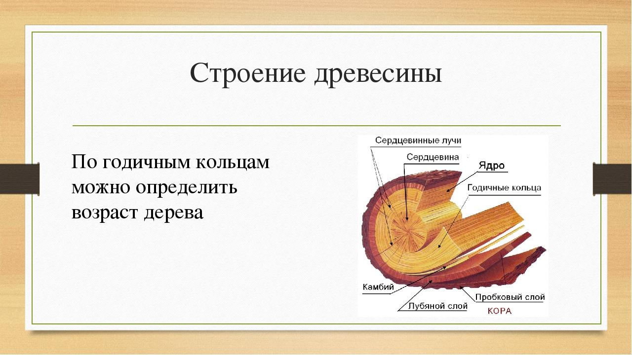 Строение древесины По годичным кольцам можно определить возраст дерева