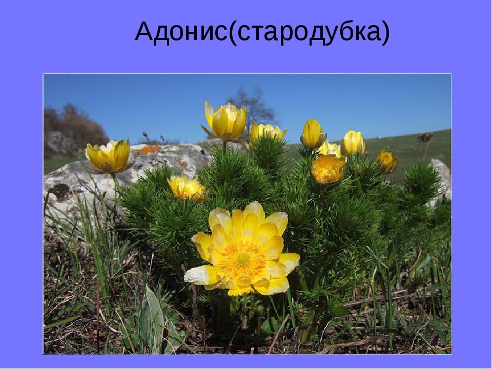 Адонис(стародубка)