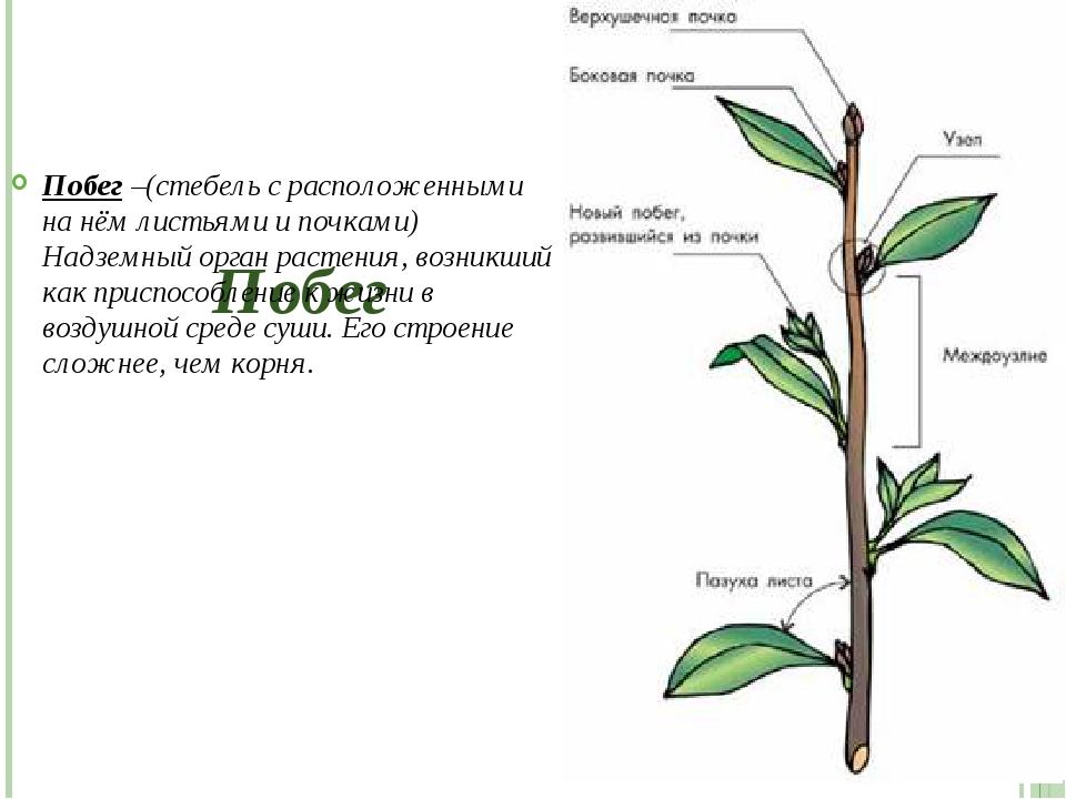 Побег Побег –(стебель с расположенными на нём листьями и почками) Надземный...