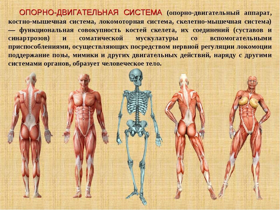 ОПОРНО-ДВИГАТЕЛЬНАЯ СИСТЕМА (опорно-двигательный аппарат, костно-мышечная сис...