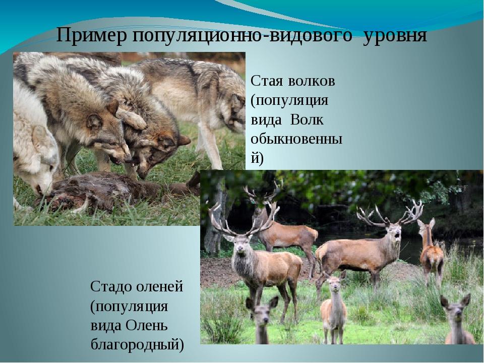 Пример популяционно-видового уровня Стая волков (популяция вида Волк обыкнове...