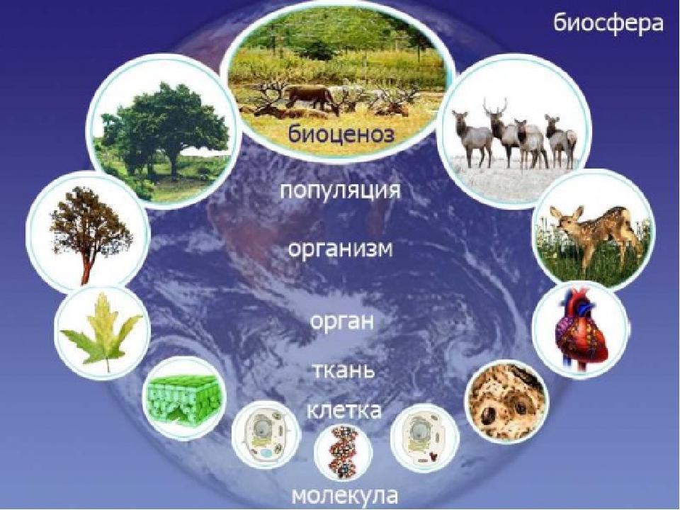 Биосистемы разной степени сложности – это особые формы существования живой ма...