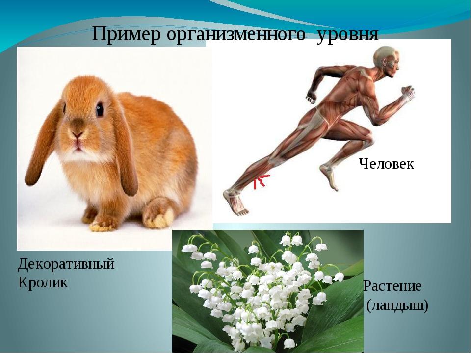 Пример организменного уровня Декоративный Кролик Человек Растение (ландыш)