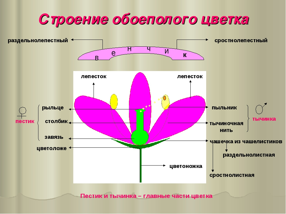 Строение обоеполого цветка в е н ч и к лепесток лепесток пыльник тычиночная н...