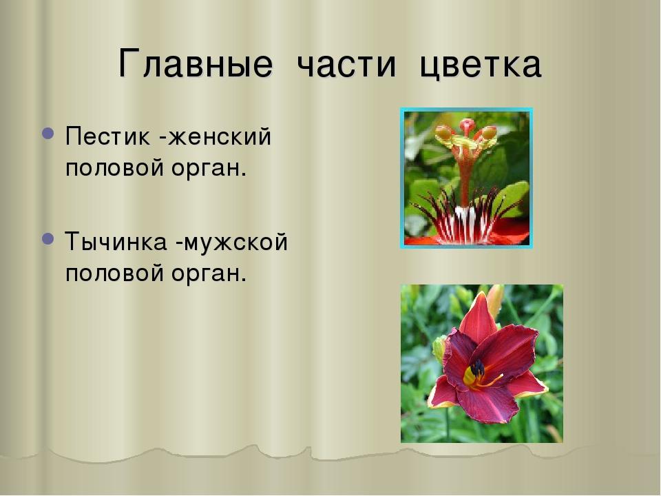 Главные части цветка Пестик -женский половой орган. Тычинка -мужской половой...