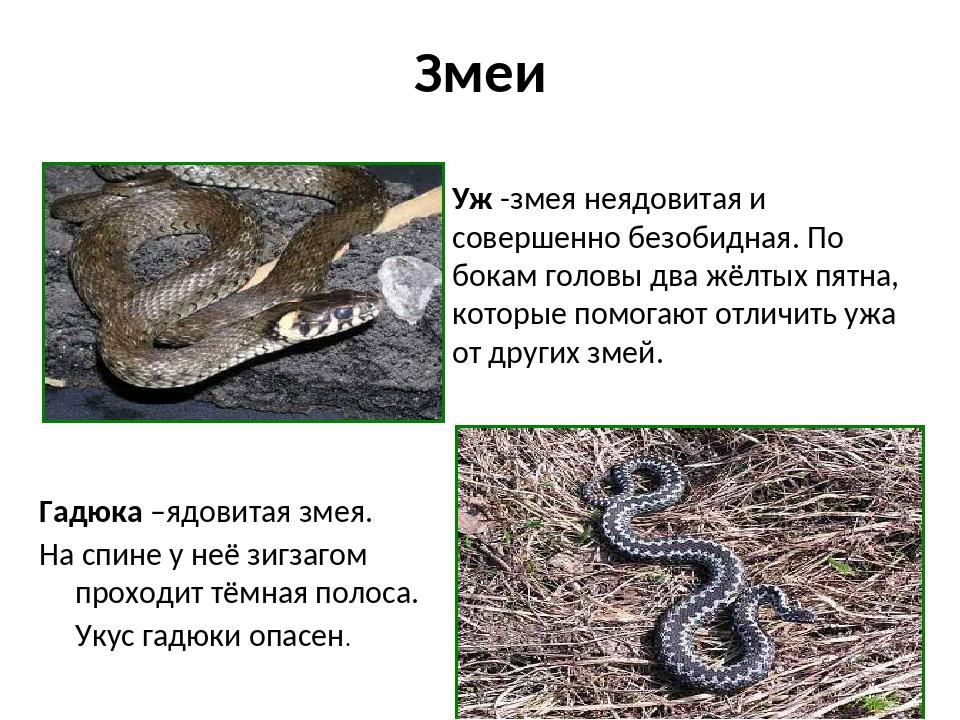 Змеи . Гадюка –ядовитая змея. На спине у неё зигзагом проходит тёмная полоса....