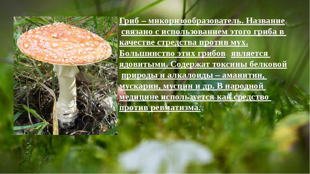Гриб – микоризообразователь. Название связано с использованием этого гриба в...