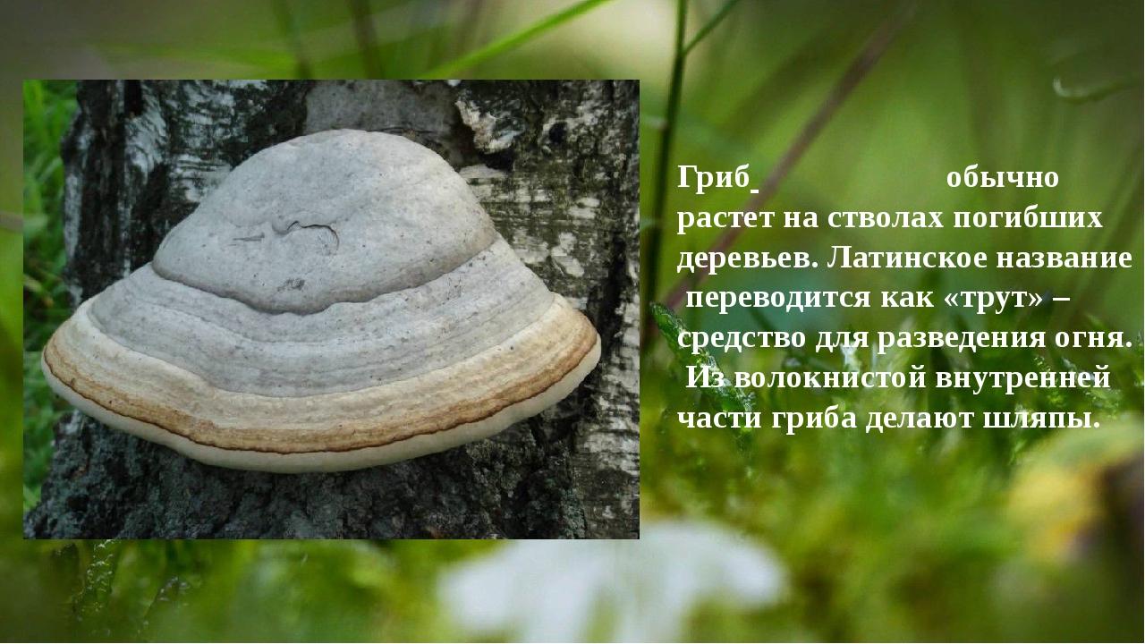 Гриб обычно растет на стволах погибших деревьев. Латинское название перевод...