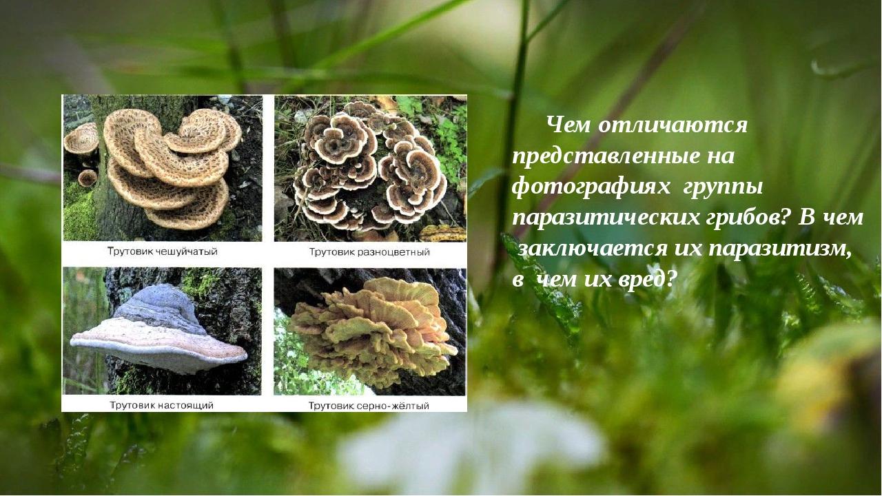 Чем отличаются представленные на фотографияхгруппы паразитических грибов? В...