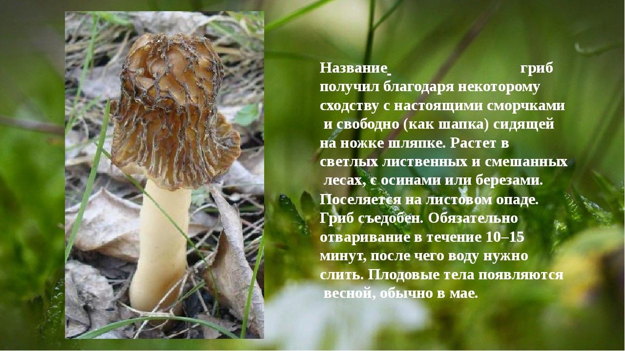 Название гриб получил благодаря некоторому сходству с настоящими сморчками...