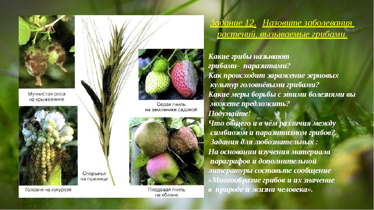 Задание 12.Назовите заболевания растений, вызываемые грибами. Какие грибы н...