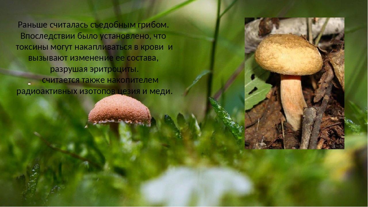 Раньше считалась съедобным грибом. Впоследствии было установлено, что токсин...