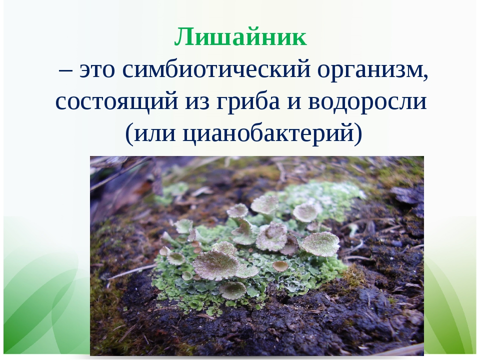 Лишайник – это симбиотический организм, состоящий из гриба и водоросли (или ц...