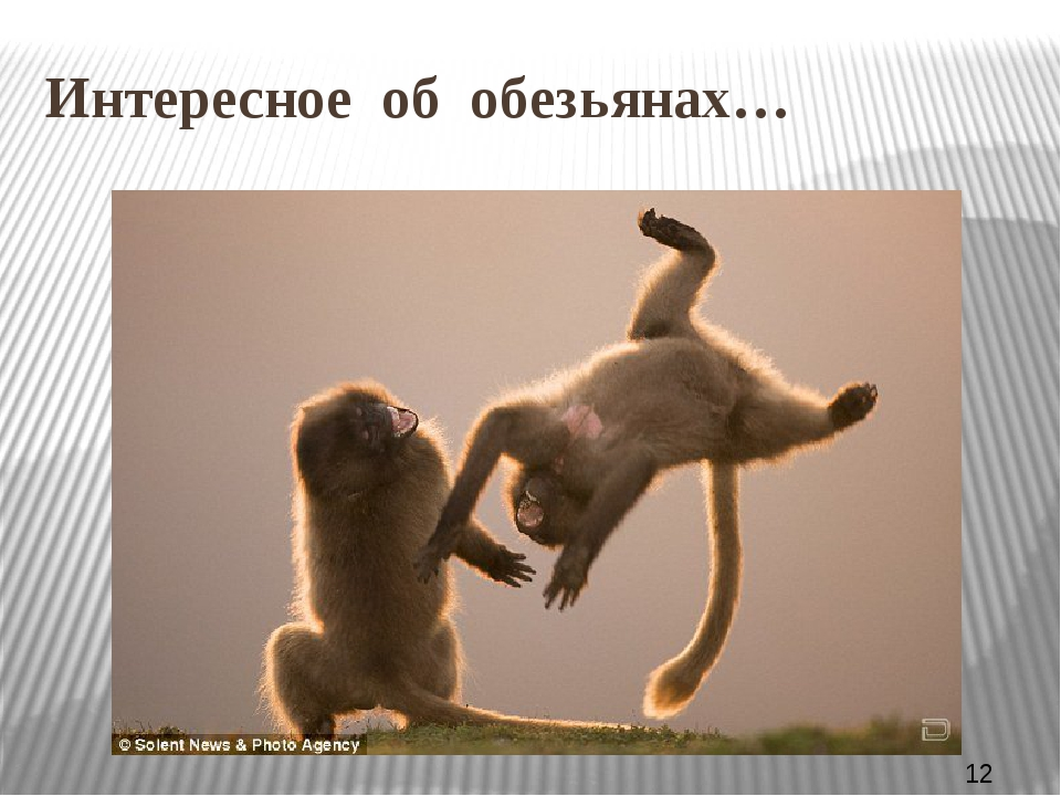 У обезьян много общих с человеком черт. Питаются обезьянки в основном растит...