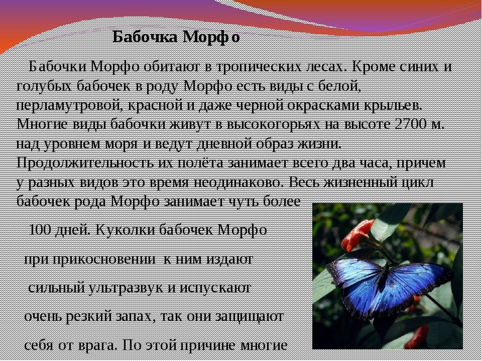 Бабочка Морфо Бабочки Морфо обитают в тропических лесах. Кроме синих и г...