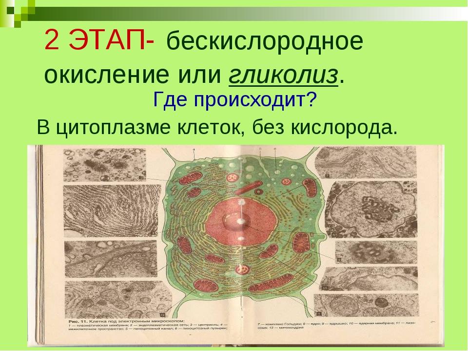 2 ЭТАП- бескислородное окисление или гликолиз. Где происходит? В цитоплазме к...