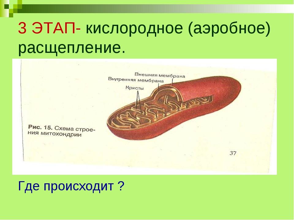 3 ЭТАП- кислородное (аэробное) расщепление. Где происходит ?