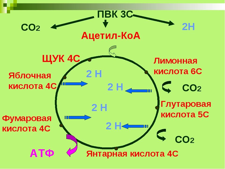 ПВК 3С Ацетил-КоА 2С Лимонная кислота 6С Глутаровая кислота 5С Янтарная кисло...