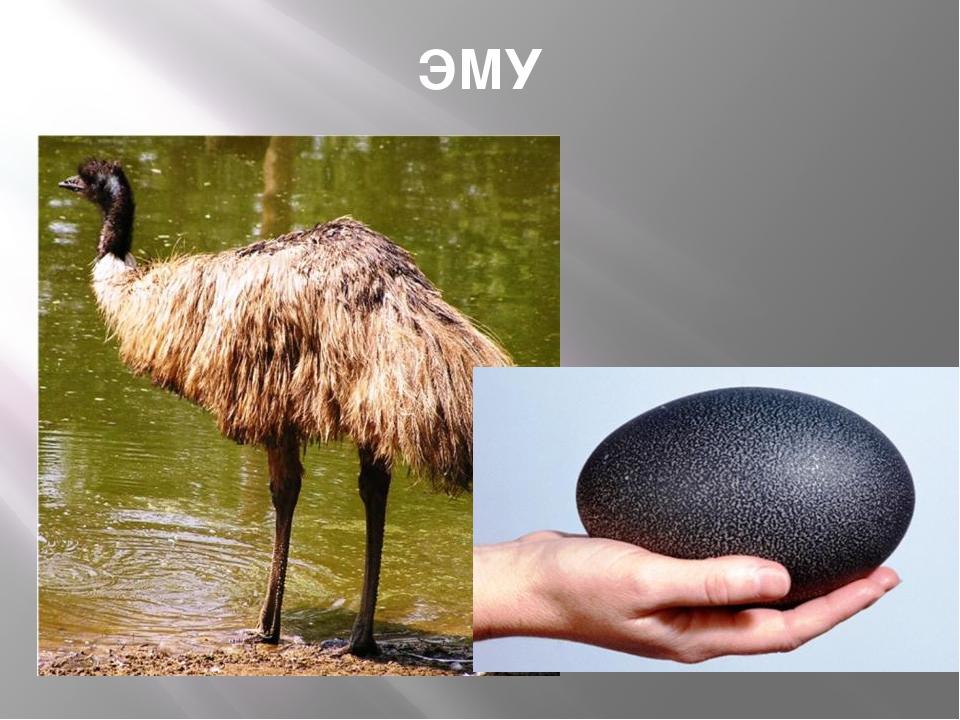 ЭМУ Птица высотой около двух метров, австралийский страус. Живет большими ста...