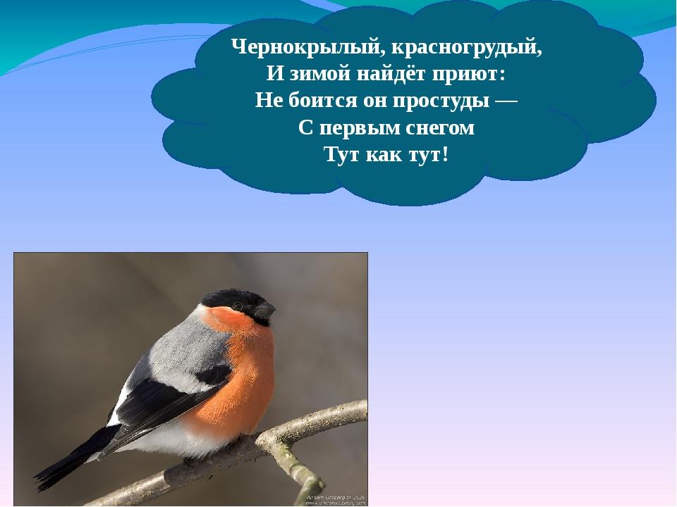 Чернокрылый, красногрудый, И зимой найдёт приют: Небоится онпростуды— Спе...