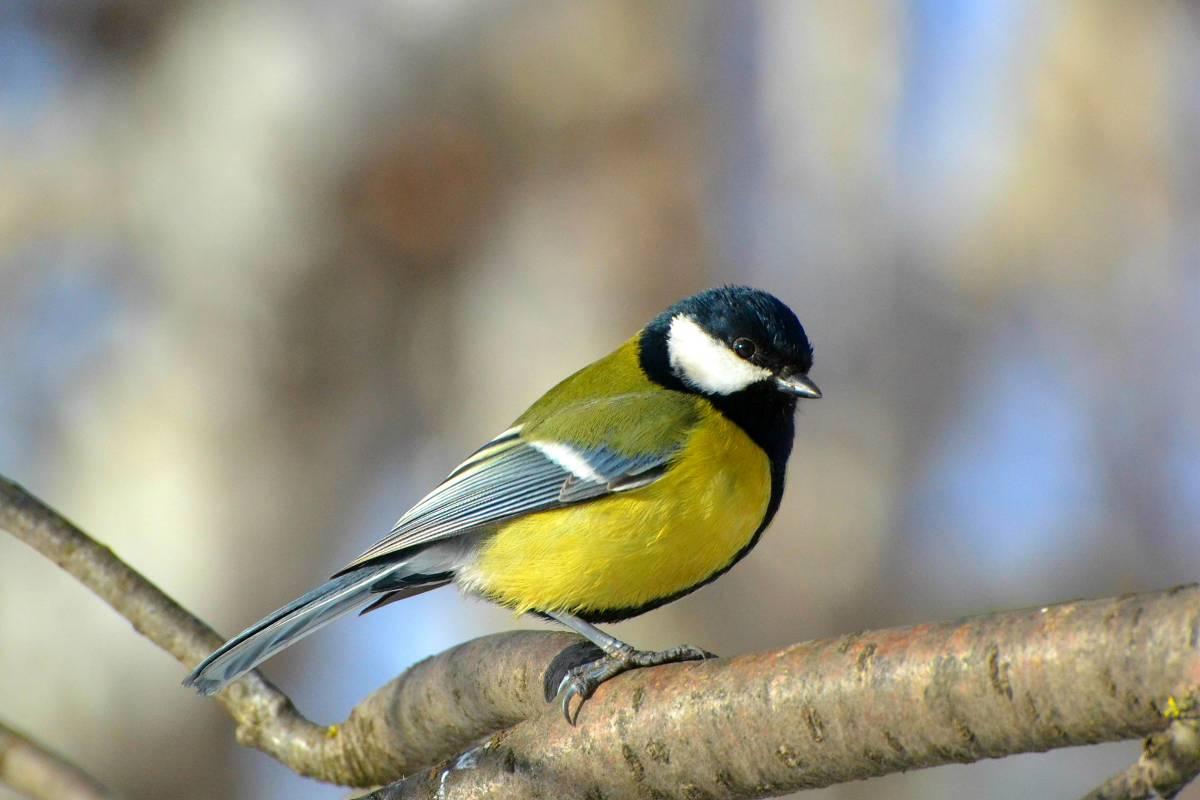 фото и картинки птицы синицы удается только очень