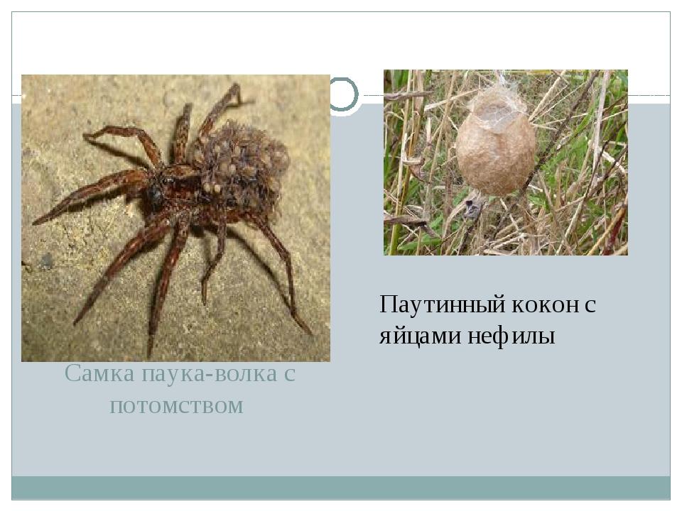 Самка паука-волка с потомством Паутинный кокон с яйцами нефилы
