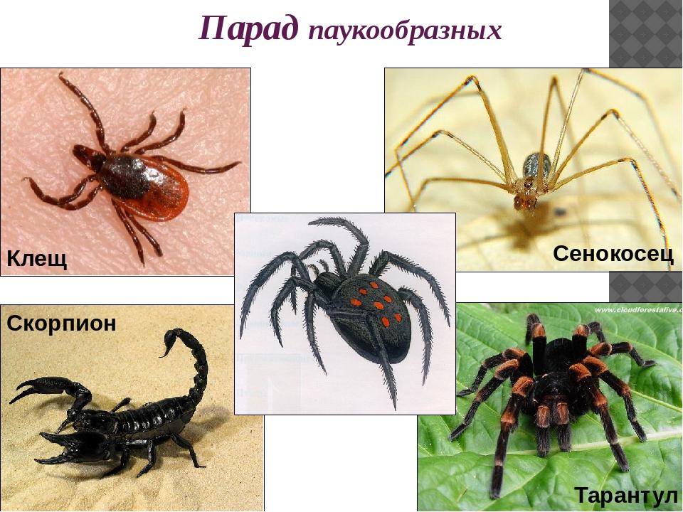 Парад паукообразных Каракурт Скорпион Клещ Тарантул Сенокосец