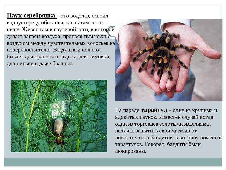 Паук-серебрянка– это водолаз, освоил водную среду обитания, заняв там свою н...