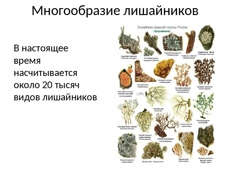 Многообразие лишайников В настоящее время насчитывается около 20 тысяч видов...