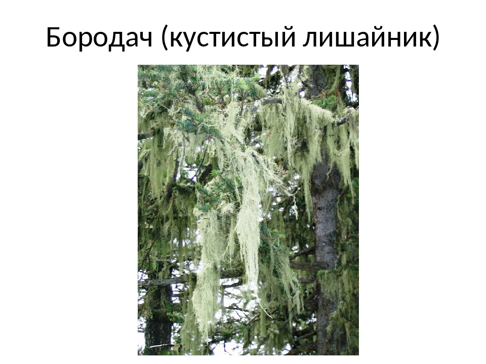 Бородач (кустистый лишайник)