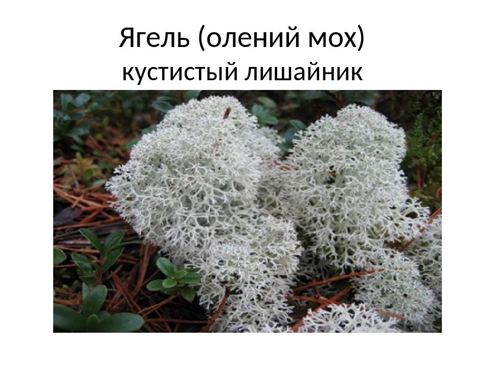 Ягель (олений мох) кустистый лишайник