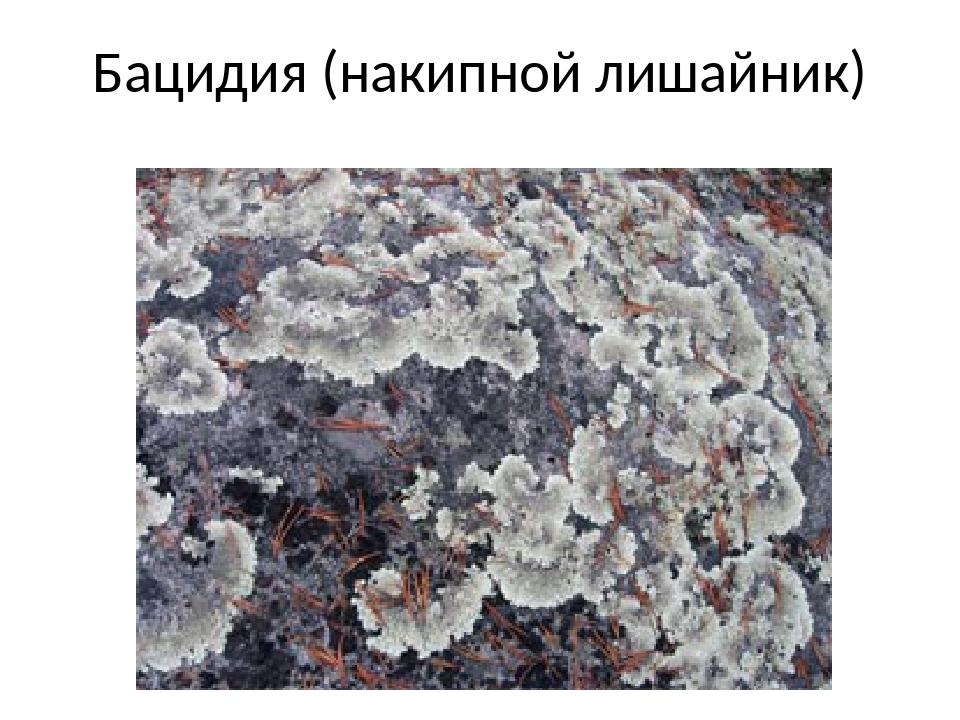 Бацидия (накипной лишайник)