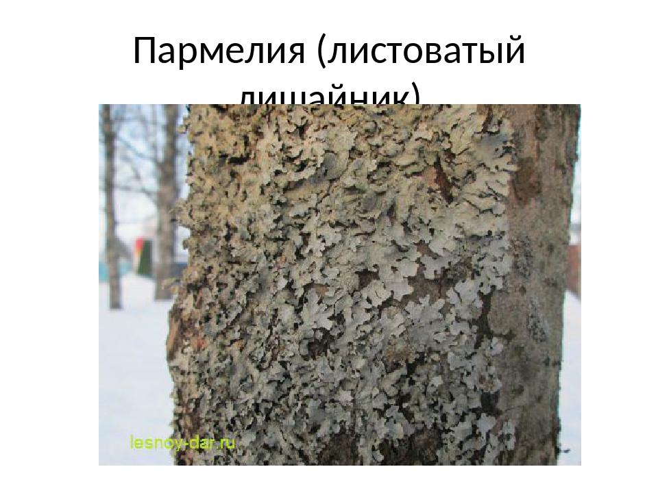 Пармелия (листоватый лишайник)