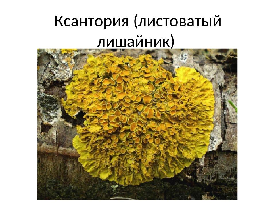 Ксантория (листоватый лишайник)