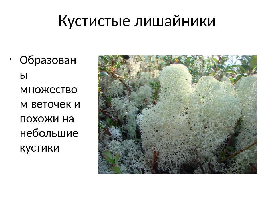 Кустистые лишайники Образованы множеством веточек и похожи на небольшие кустики