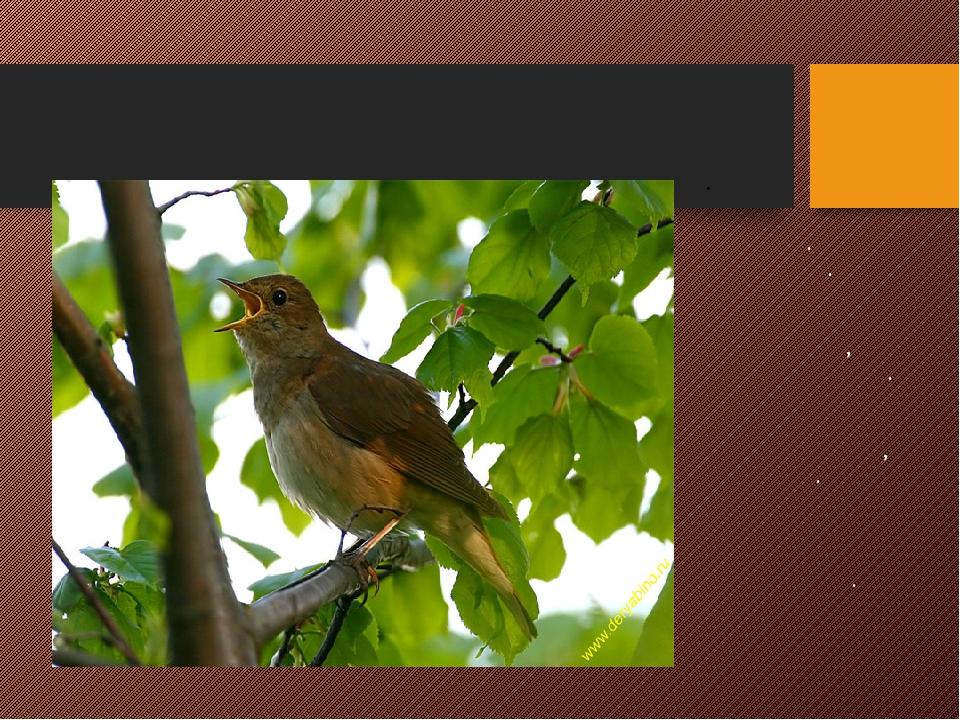 СОЛОВЕЙ Неприметная серая певчая птица. Зимует в Африке. Обитает в кустарнико...