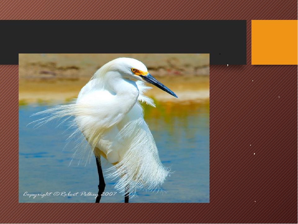 ЦАПЛЯ Длинноногая, длинношеие птицы. Окрас перьев белого цвета. Имеет длинный...