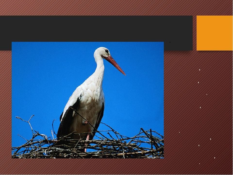 АИСТ Большая птица белого цвета с большим красным клювом, длинными ногами, бо...